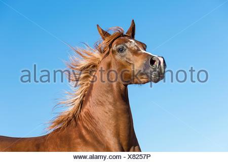 Arabian Horse. Portrait of chestnut stallion with mane flowing. Egypt - Stock Photo