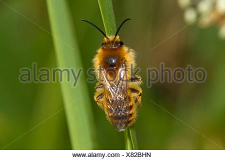 hairy-legged bees (Dasypoda altercator), male sunbathing, Germany, Mecklenburg-Western Pomerania - Stock Photo