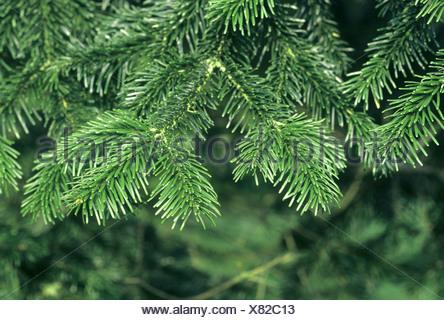 Caucasian Fir Abies nordmanniana (Pinaceae) - Stock Photo
