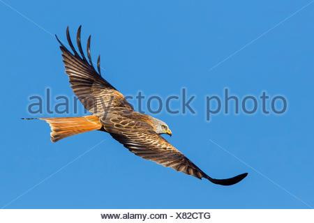 red kite (Milvus milvus), in flight, side view, Switzerland, Valais