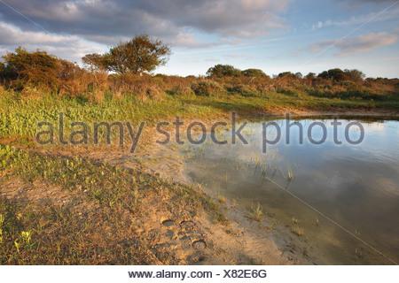Wet dune grassland in the Westhoek Nature Reserve, Belgium, Zeeland, Westhoek Nature Reserve - Stock Photo