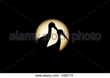 White Storks (Ciconia ciconia), in silhouette, against the full moon, Canton of Aargau, Switzerland - Stock Photo