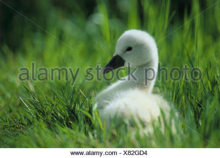Hump swan (Cygnus olor), chicks - Stock Photo