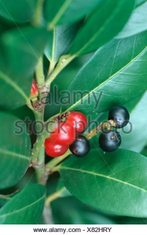 cherry-laurel (Prunus laurocerasus), with fruits - Stock Photo