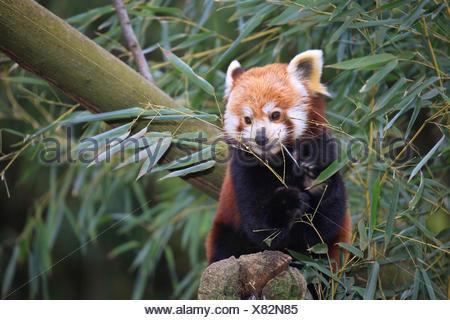 lesser panda, red panda (Ailurus fulgens), with bamboo - Stock Photo