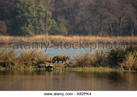 Wild Indian Tigers or Bengal Tigers, tiger family (Panthera tigris tigris), adult female with three cubs, crossing through the - Stock Photo