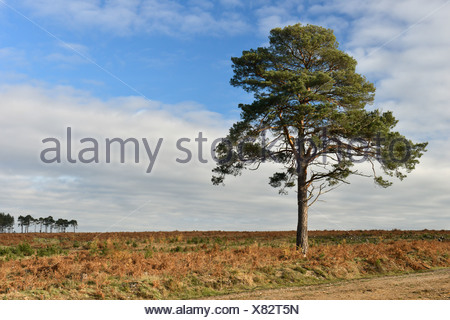 Solitary Scots Pine - Pinus sylvestris, New Forest, Hampshire - Stock Photo