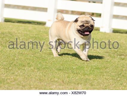 A small, young, beautiful, fawn Pug with a wrinkly short muzzled face running on the lawn looking playful and cheerful. The chinese pug is a happy dog with deep wrinkles, round head and curled tail over the back. - Stock Photo