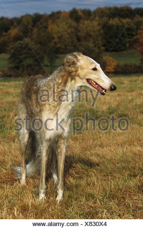 Barzoi - standing on meadow - Stock Photo