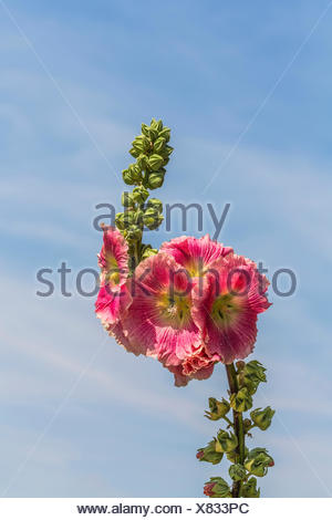 Flowering Hollyhock (Alcea rosea), Bavaria, Germany - Stock Photo
