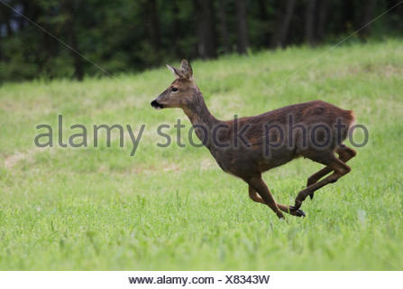 mammal roe animal mammal animals aigrette escape horns stags roe hart stag - Stock Photo