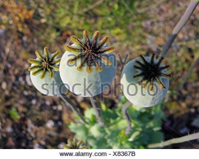 opium poppy (Papaver somniferum), capsules, Germany, North Rhine-Westphalia - Stock Photo
