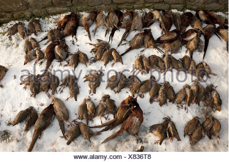 Red-legged Partridge (Alectoris rufa) and Common Pheasant (Phasianus colchicus), shot, laying on snow after shoot, Lancashire, England, winter - Stock Photo