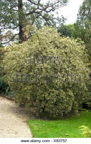 Ilex aquifolium 'Argentea-marginata Pendula'   MIW252620 - Stock Photo