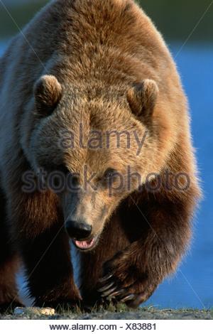 Portrait of Grizzly Walking Forward SC AK Captive Summer Big Game Alaska - Stock Photo