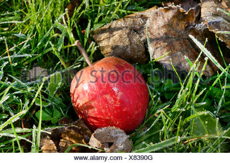 apple (Malus domestica), windfall, apple lies in a meadow under a tree, Germany, Hesse - Stock Photo