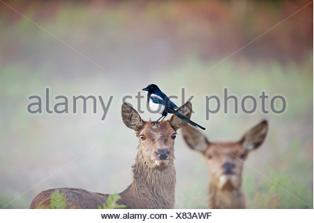 Magpie Pica pica feeding on tics on Red Deer hind Rivhmond Park London autumn - Stock Photo