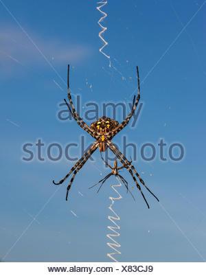 Golden Orb web spider (Nephila sp) female with smaller male, Central Kalahari Game Reserve, Botswana. - Stock Photo