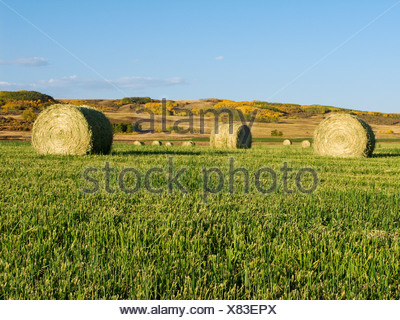 Agriculture - Round hay bales on green grass stubble / Alberta, Canada. - Stock Photo