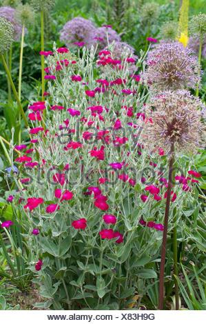 Lychnis coronaria coquelourde des jardins en fleur dans - Coquelourde des jardins lychnis coronaria ...
