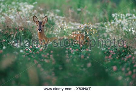 Roe Deer / Reh - Stock Photo