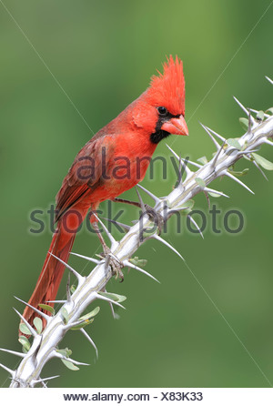 Northern Cardinal (Cardinalis cardinalis) perched on Ocotillo branch at Elephant Head Pond, Arizona, USA - Stock Photo