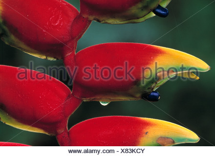 heliconia, hanging lobster claw, heliconia rostrata - Stock Photo