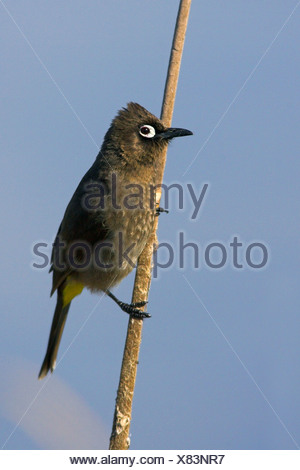 Cape bulbul (Pycnonotus capensis), sitting on reed, South Africa, Cape Province - Stock Photo