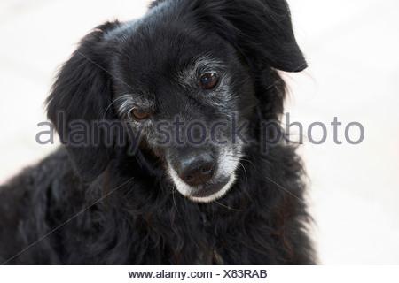 Little black dog looks unhappy, portrait, cut out - Stock Photo