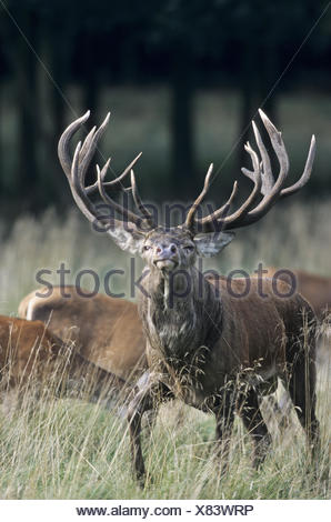 Red Deer stag tests the receptiveness - Stock Photo