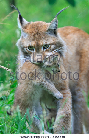 Eurasian lynx (Lynx lynx), mother carrying a juvenile in the mouth - Stock Photo
