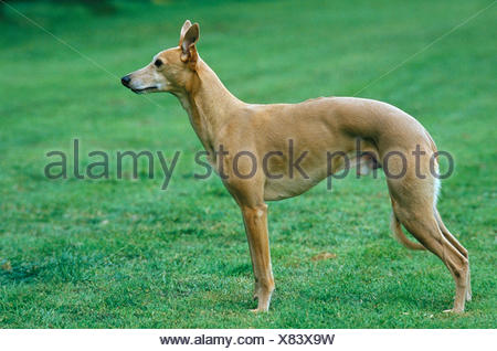 Male Whippet Dog on Lawn - Stock Photo