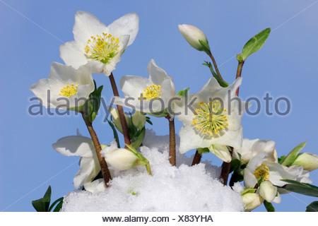 Flowering christmas rose in snow (Helleborus niger hybrid) - Stock Photo