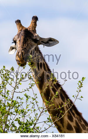 A Maasai Giraffe grazing on the new leaf shoots sprouting from  the tips of tree branches. - Stock Photo
