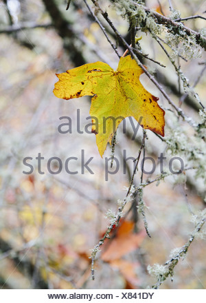 Washington State USA maple leaf moss covered tree branch Autumn - Stock Photo