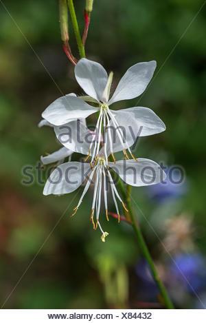 Flower of Lindheimer's beeblossom (Gaura lindheimeri), Bavaria, Germany - Stock Photo