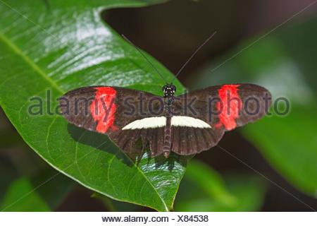 Kleiner Postbote (Heliconius erato), sitzt auf einem Blatt, Aufsicht | Red postman, Small postman, Red passion flower butterfly, - Stock Photo
