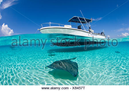 Spilt level view of a large female Southern Stingray (Dasyatis americana) beneath boat,  Cayman Islands. British West Indies. - Stock Photo