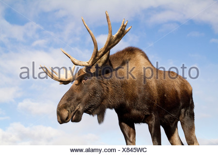CAPTIVE: Close up and low angle view of a bull moose, Alaska Wildlife Conservation Center, Southcentral Alaska, Autumn - Stock Photo