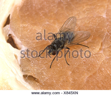 House fly or housefly Musca domestica walking on meat surface - Stock Photo