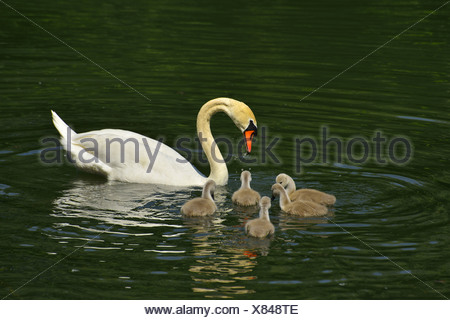 mute swan (Cygnus olor), with Cygnets on a lake, Germany, Baden-Wuerttemberg - Stock Photo