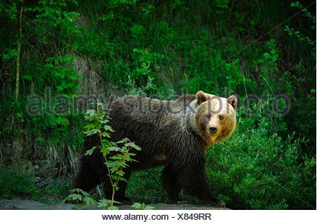 Brown Bear (Ursus arctos), Langenberg Zoo, Adliswil, Canton of Zurich, Switzerland