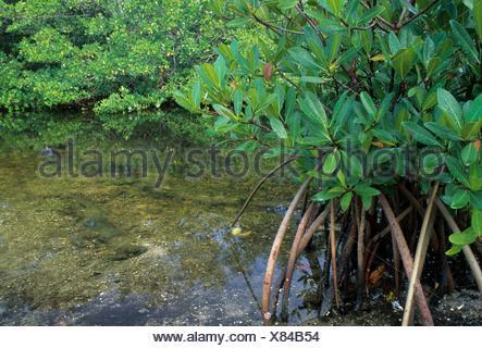 Red mangrove, JN Ding Darling National Wildlife Refuge, Florida. - Stock Photo