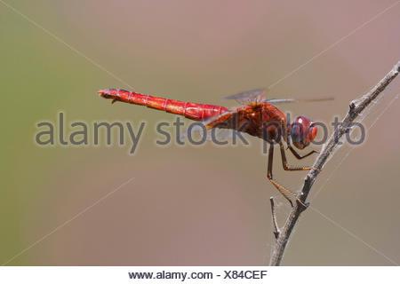 Broad Scarlet, Common Scarlet-darter, Scarlet Darter, Scarlet Dragonfly (Crocothemis erythraea, Croccothemis erythraea), at a stem, Turkey, Anatolia, Lycia - Stock Photo