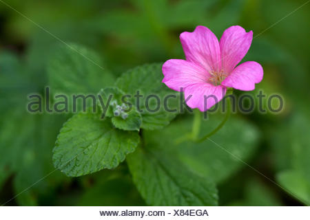 Endres cranesbill with leaves (lat. Geranium endre - Stock Photo