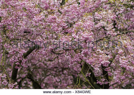Cherry, Single pink weeping cherry, Prunus subhirtella 'Pendula rubra', Clusters of small hanging pink flowers growing outdoor. - Stock Photo