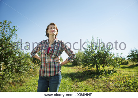 Woodstock New York USA woman in plaid shirt picking apples in the orchard - Stock Photo
