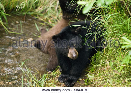 Black Bear Cubs Lay Next To Their Mother Near Mendenahll Glacier In Southeast Alaska During Summer - Stock Photo