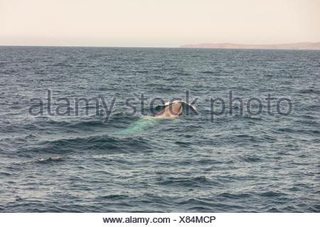 Sei Whale, (Balaenoptera borealis), Witless Bay Ecological Reserve, Newfoundland, Canada - Stock Photo