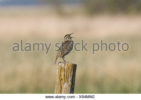 Western Meadowlark (Sturnella neglecta) adult, singing, perched on fence post in pasture, North Dakota, U.S.A. - Stock Photo